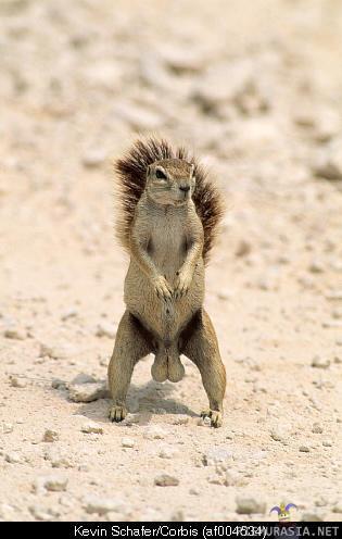osku orava