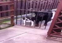 Koira huutelee