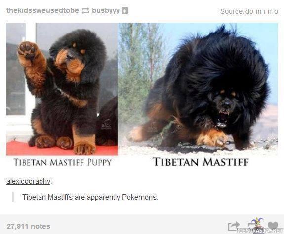 Siperian Mastiffi
