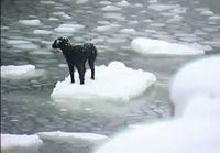 Venäläiset merimiehet pelastavat jäälautalle jääneen koiran