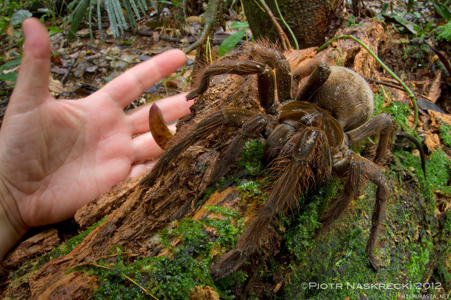 Iso Hämähäkki