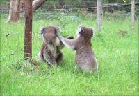 Taistelevat Koalat
