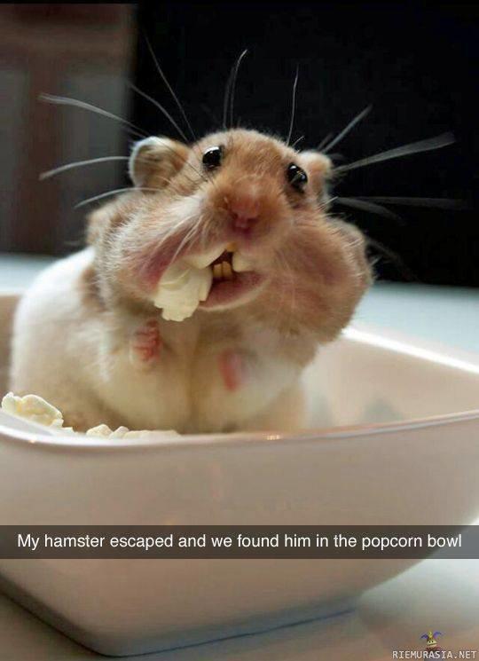 Funny Meme Eating Popcorn : Hamsteri karkuteillä