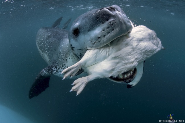 Paul Nicklen photo - Paul Nicklen is the name and taking photos is the game.